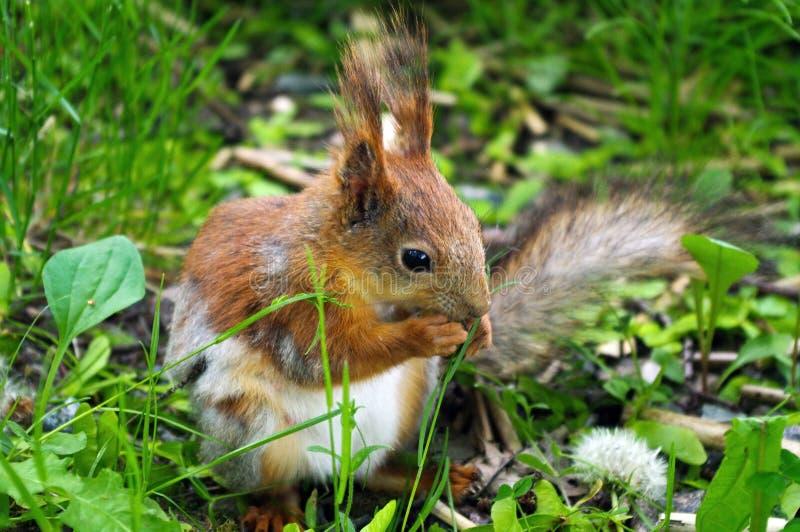 Nahaufnahme eines rotbraunen Eichhörnchens, das Nuss während des Sitzens aus den grünen Grund isst stockfotografie