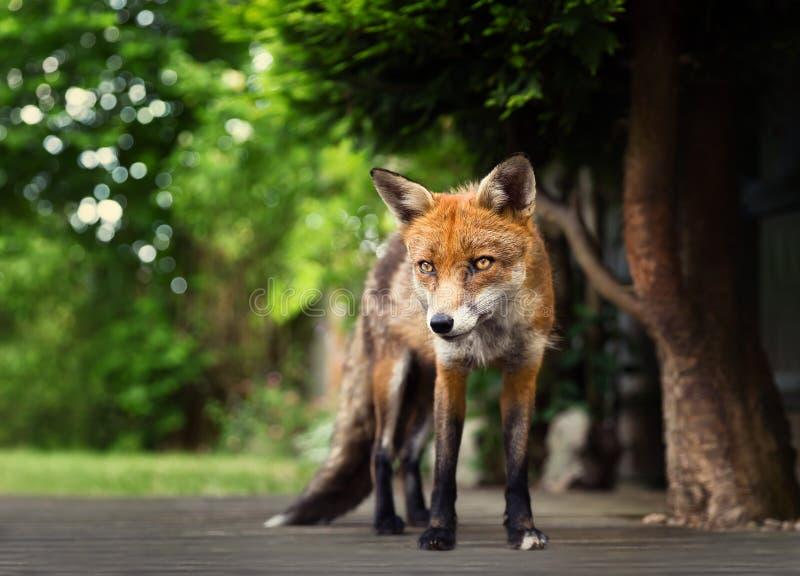 Nahaufnahme eines roten Fuchses, der auf dem Patio Decking steht lizenzfreie stockbilder