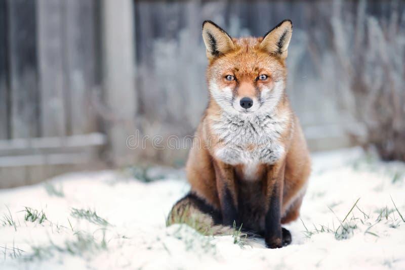 Nahaufnahme eines roten Fuchses im Schnee lizenzfreie stockfotografie