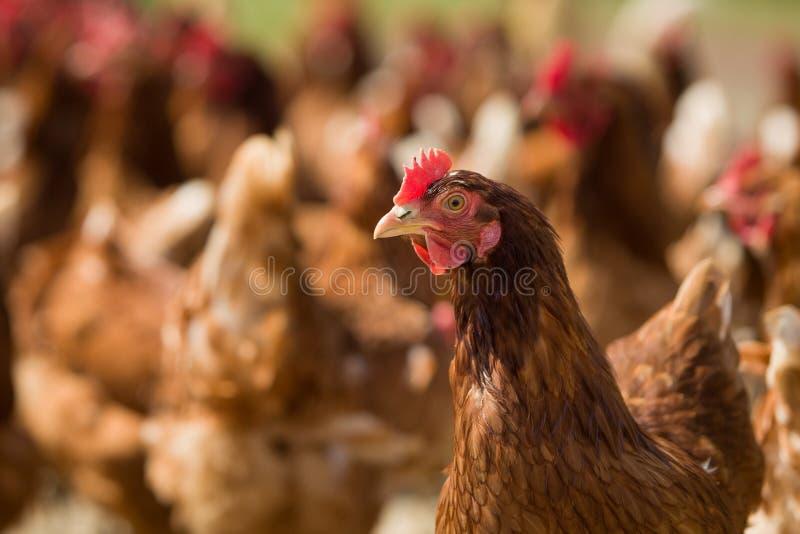 Nahaufnahme eines roten Huhns auf einem Bauernhof in der Natur Hennen in einem Freilandbauernhof H?hner, die in das Bauernhofyard stockfotografie