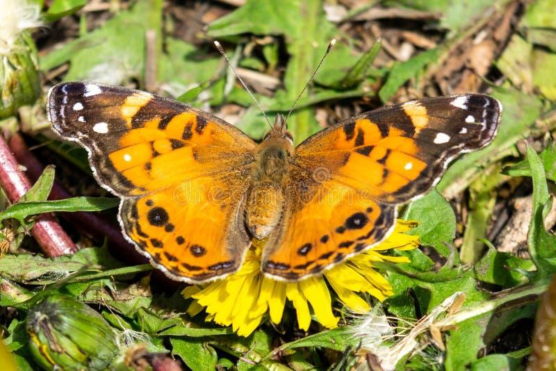 Nahaufnahme eines schönen Schmetterlinges mit den orange u. schwarzen Flügeln, sitzend auf einem gelben blühenden Löwenzahn unter stockfotografie