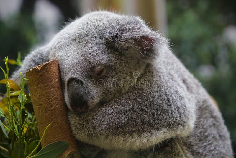 Nahaufnahme eines schläfrigen Koala lizenzfreie stockfotos