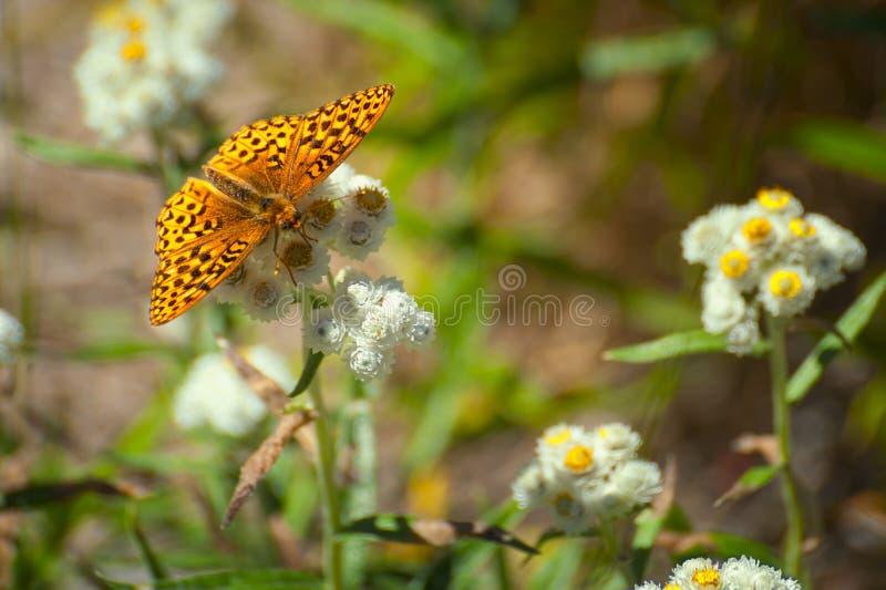 Nahaufnahme eines Schmetterlinges auf Wildflowers stockfotografie