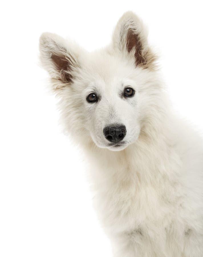 Nahaufnahme eines Schweizer Schäfer-Dog-Welpen, der die Kamera betrachtet lizenzfreie stockfotografie