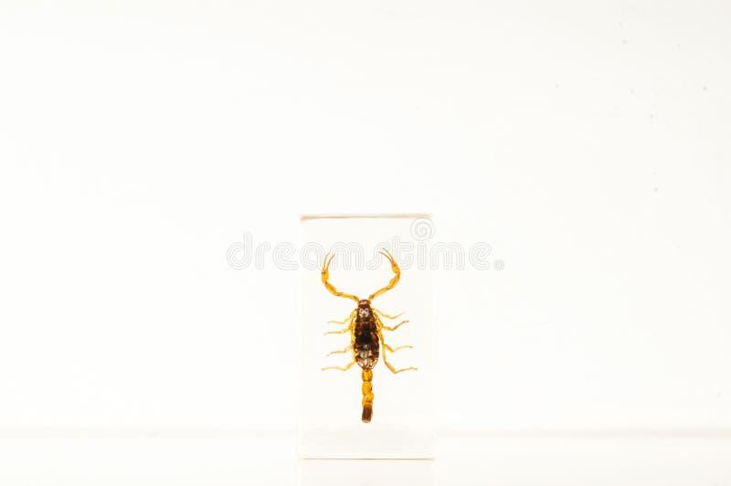 Nahaufnahme eines Skorpions stockfotografie