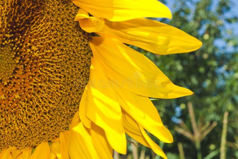 Nahaufnahme eines Teils der Sonnenblume auf einem Gebiet lizenzfreies stockbild