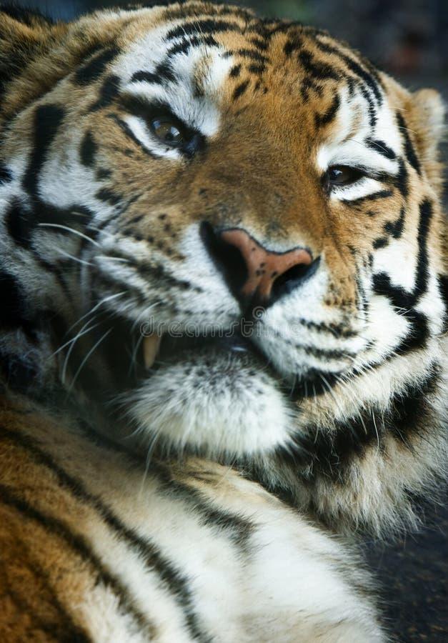 Nahaufnahme eines Tigers lizenzfreies stockfoto