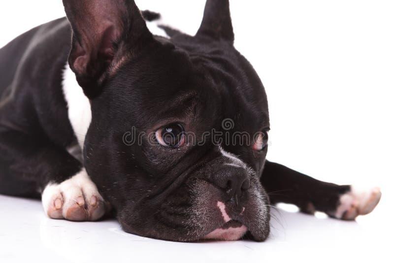 Nahaufnahme eines traurigen Hündchens der französischen Bulldogge lizenzfreie stockfotografie