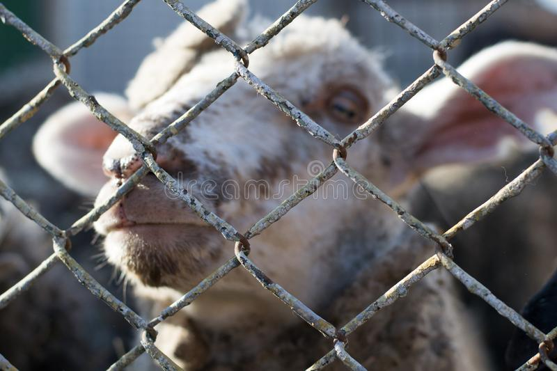 Nahaufnahme eines unglücklichen Schafs hinter Gittern, das Leben von Tieren in der Gefangenschaft stockbilder