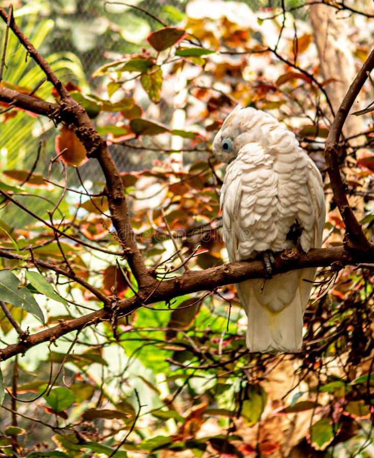 Nahaufnahme eines weißen Papageien auf der Niederlassung stockfoto