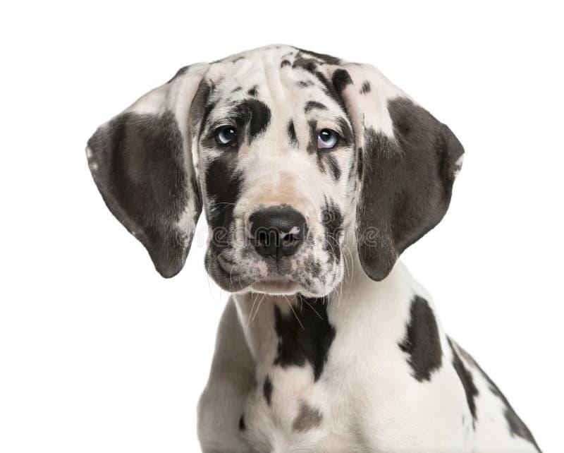 Nahaufnahme eines Welpen der Deutschen Dogge lizenzfreie stockfotos