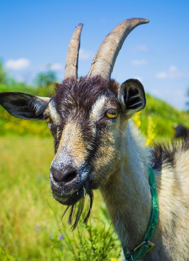 Nahaufnahme eines Ziege ` s Kopfes lizenzfreie stockfotos