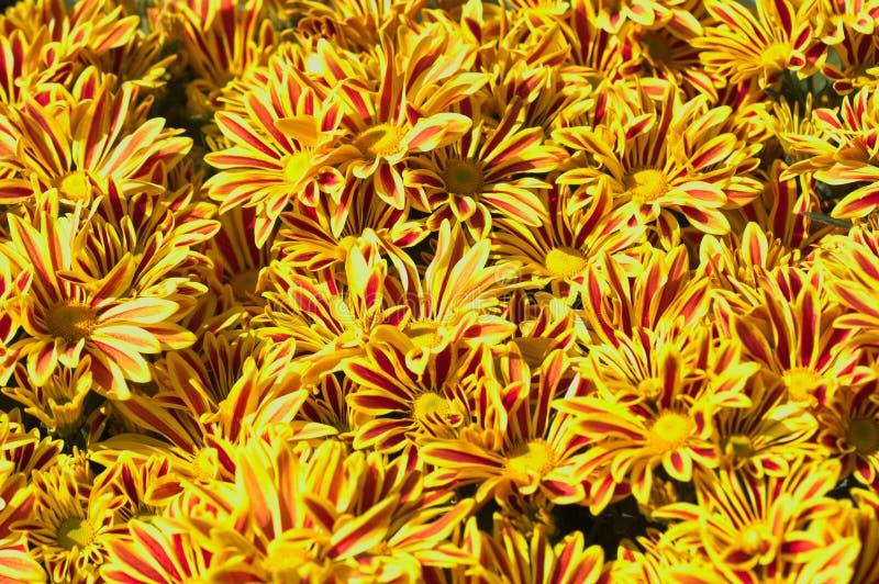 Nahaufnahme einiger gelber Gänseblümchen mit rötlichen Streifen stockbild