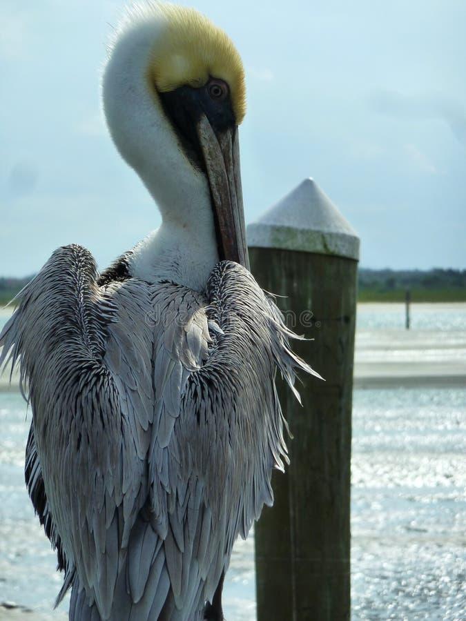 Nahaufnahme Einsamer Pelikan stockfotografie