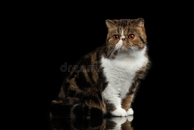 Nahaufnahme exotische Cat Sits auf Spiegel, Wachsamkeit, die in camera schaut lizenzfreie stockfotos