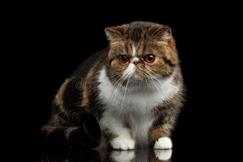 Nahaufnahme exotische Cat Sits auf Spiegel, Wachsamkeit, die in camera schaut lizenzfreie stockbilder