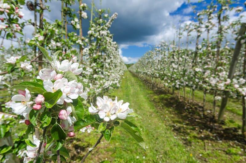 Nahaufnahme für Apfelblüte in der schwedischen Plantage lizenzfreie stockbilder