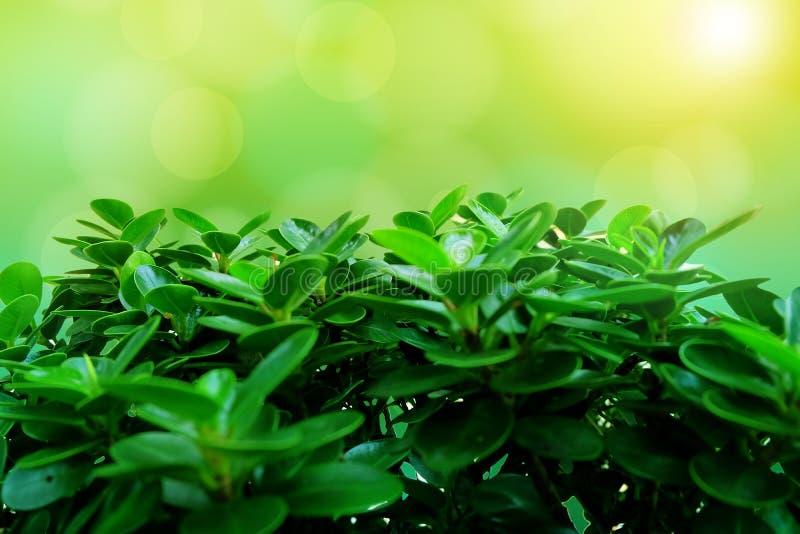Nahaufnahme-Ficus microcarpa mit Sonnenschein bokhe Hintergrund stockbilder