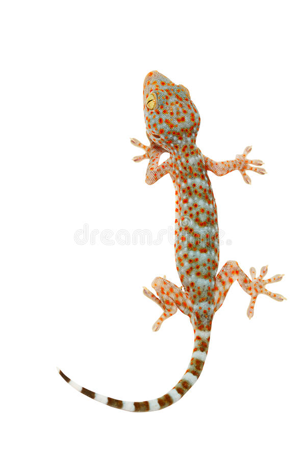 Nahaufnahme Gecko lizenzfreies stockfoto