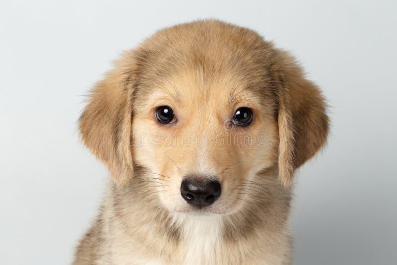 Nahaufnahme gemischte Zucht Ginger Puppy Pity Looking Isolated auf Weiß lizenzfreies stockfoto