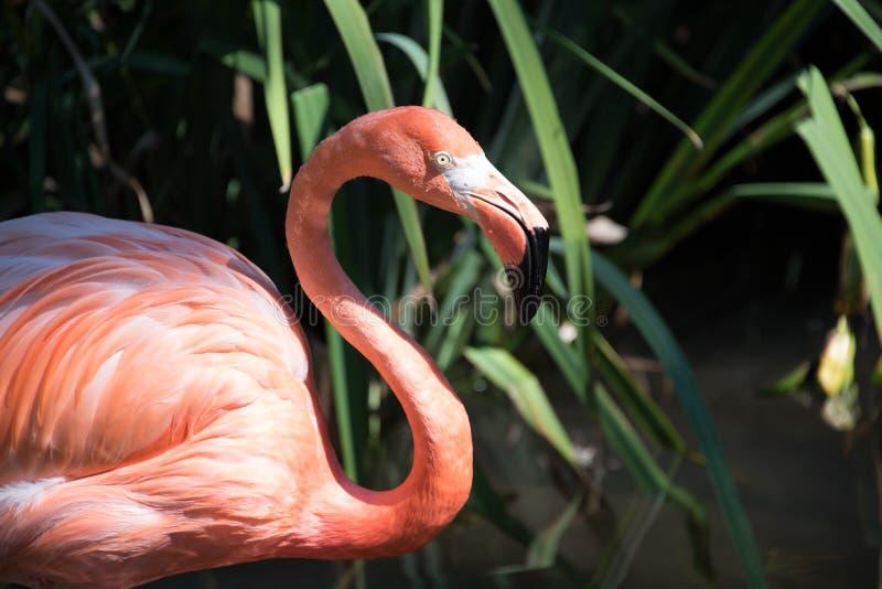 Nahaufnahme geschossen vom Flamingo auf einen Zoo lizenzfreie stockbilder
