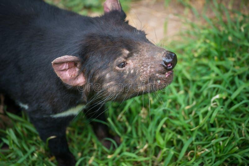 Nahaufnahme geschossen vom tasmanischen Teufel stockfotos