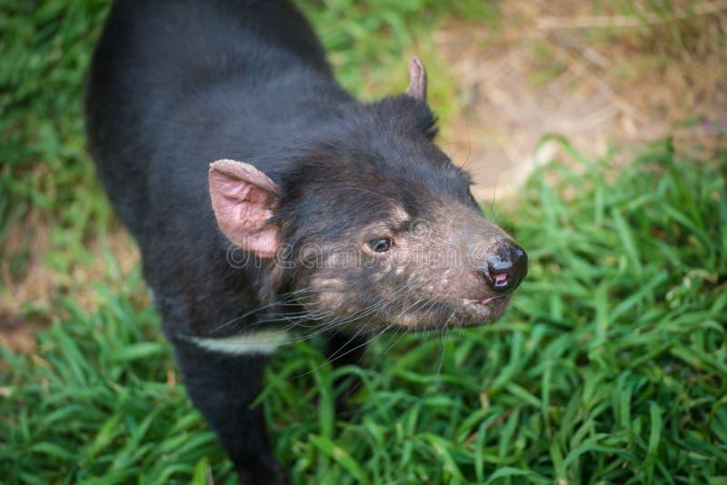 Nahaufnahme geschossen vom tasmanischen Teufel stockbild