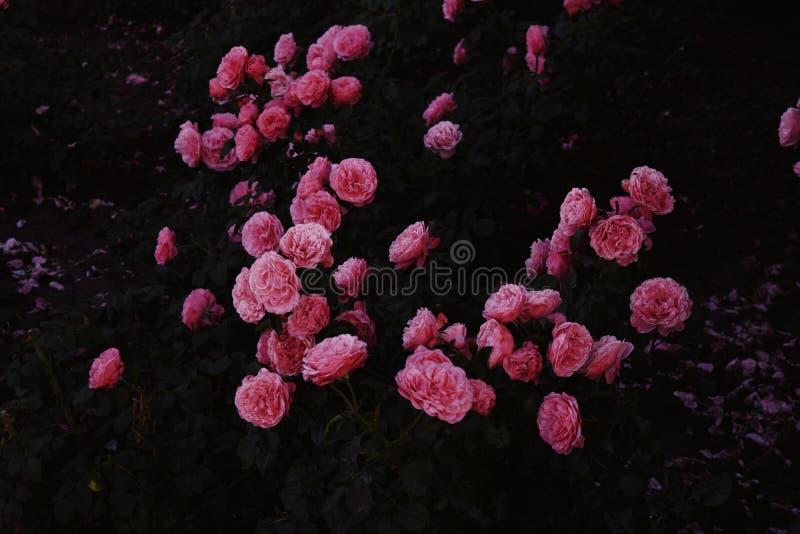 Nahaufnahme geschossen von den rosa Rosen in einer natürlichen Umwelt nachts mit Blättern im backgroound lizenzfreies stockbild