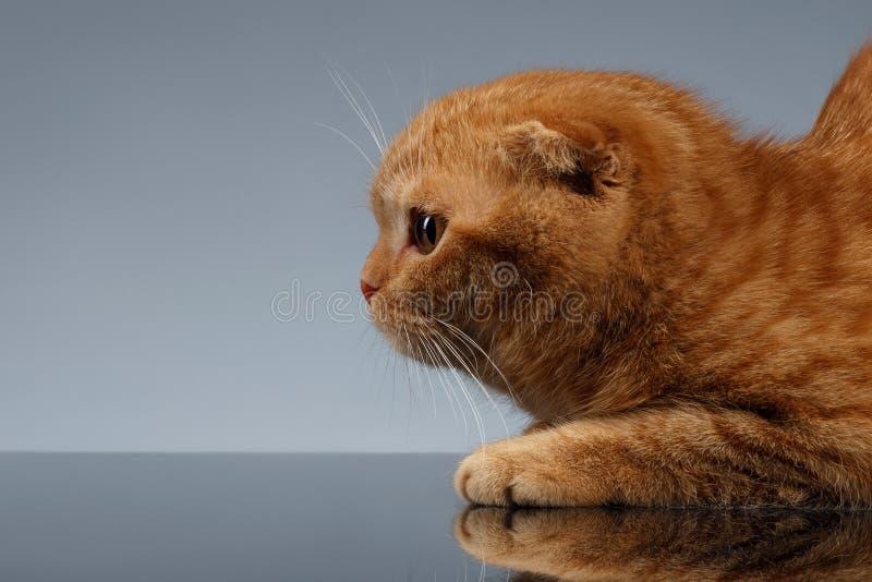 Nahaufnahme Ginger Scottish Fold Cat auf Gray Background in der Profilansicht lizenzfreie stockfotos