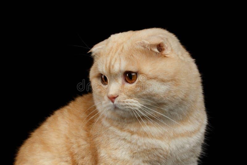 Nahaufnahme Ginger Scottish Fold Cat Looking am links lokalisiert auf Schwarzem lizenzfreies stockfoto