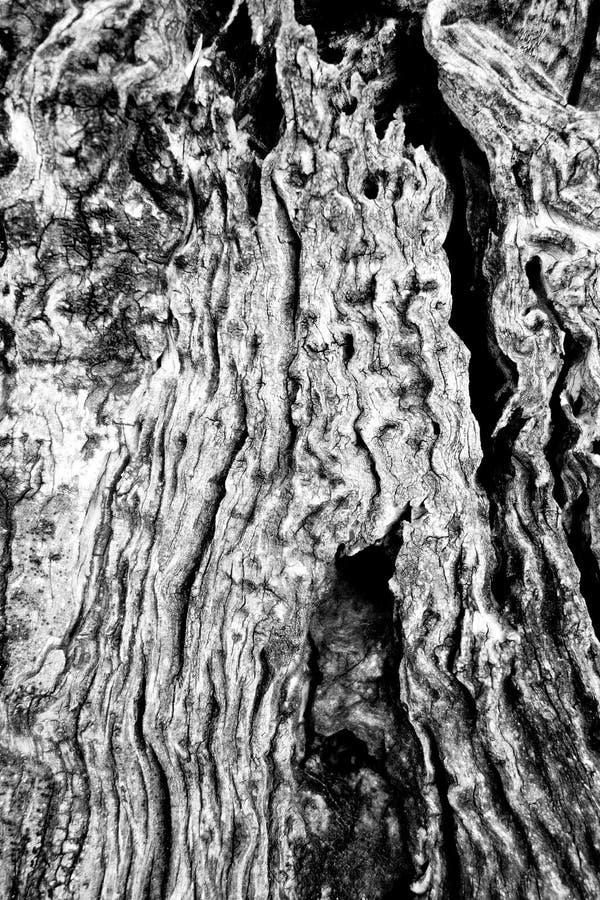 Nahaufnahme-Gnarly gebrochene Beschaffenheit von Olive Tree lizenzfreie stockfotografie