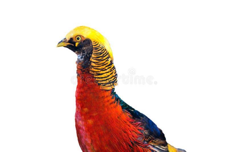 Nahaufnahme-Goldfasanvogel rot und gelb stockfotografie