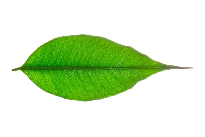 Nahaufnahme-grünes Blatt lizenzfreie stockfotos