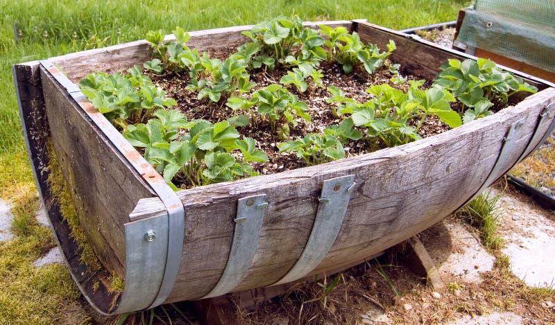 Nahaufnahme-halbes Faß füllte mit Erdbeere-Anlagen lizenzfreies stockfoto
