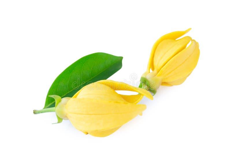 Nahaufnahme-Ilang-Ilang Blume, gelbe wohlriechende Blume auf weißem backg lizenzfreies stockbild