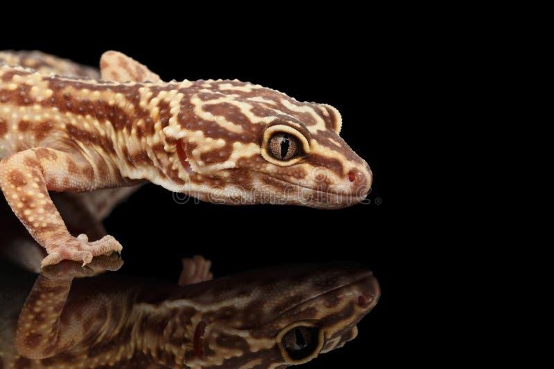 Nahaufnahme-Kopf von Leopard-Gecko Eublepharis-macularius lokalisiert auf Schwarzem stockbild