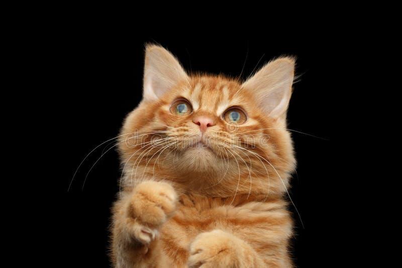 Nahaufnahme Kurilian Bobtail Cat Curious Raising herauf die Tatzen, schwarz lizenzfreies stockfoto
