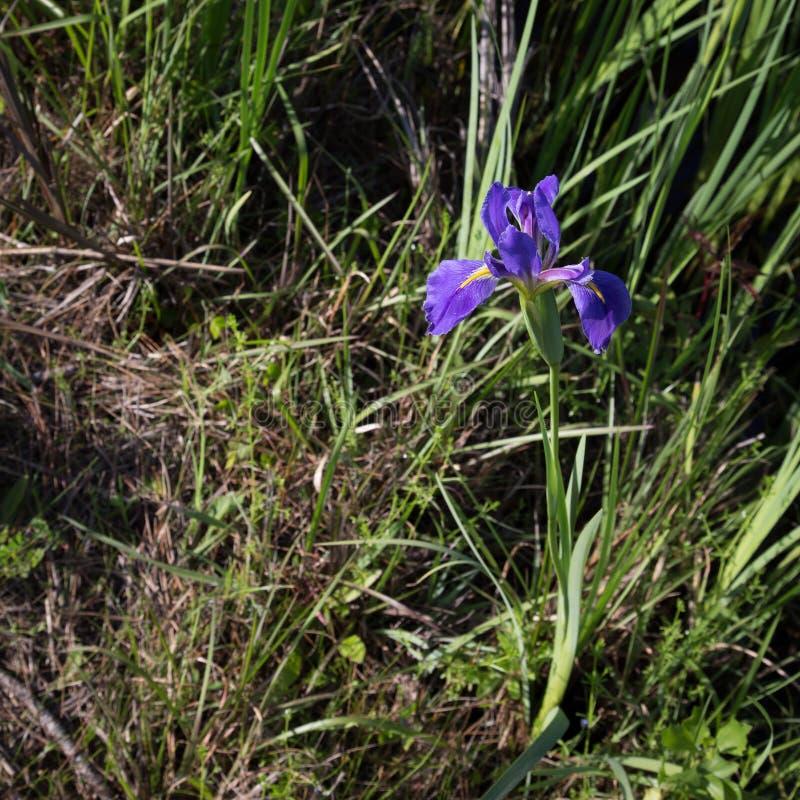 Nahaufnahme-Louisiana-Iriszierpflanzenbau wild auf Straßenrand lizenzfreies stockfoto