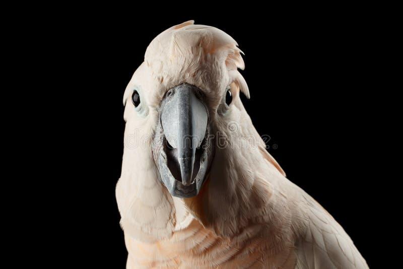 Nahaufnahme-lustiger Moluccan Kakadu, Papagei Lachs-mit Haube überraschte Blicke, lokalisiertes Schwarzes lizenzfreies stockfoto