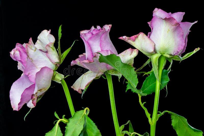 Nahaufnahme mit drei rosa Rosen lizenzfreies stockfoto