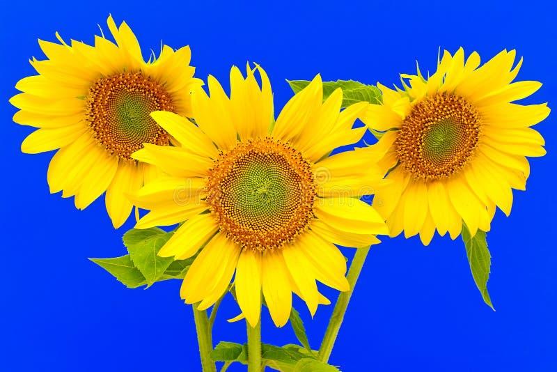 Nahaufnahme mit drei Sonnenblumen auf blauem Hintergrund stockfotografie