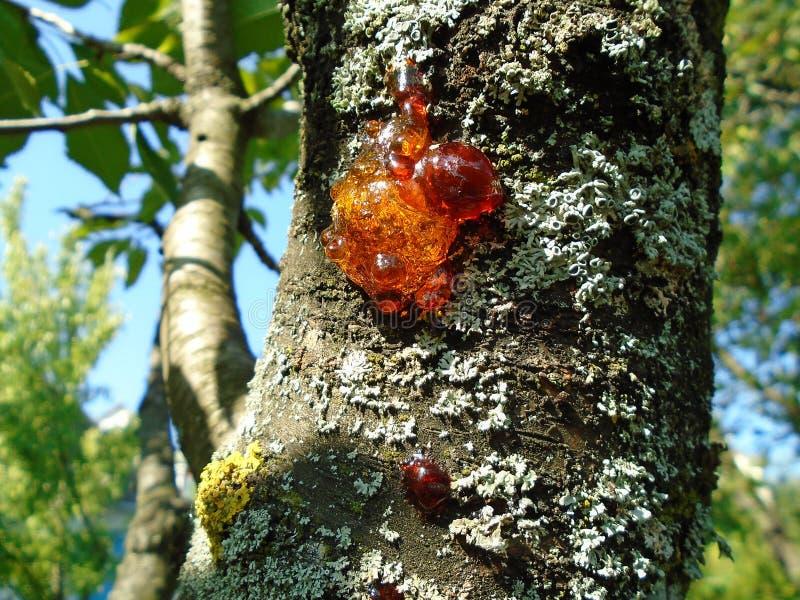 Nahaufnahme mit glänzendem hölzernem Harz und grauem Moos auf einem Baum stockfotografie