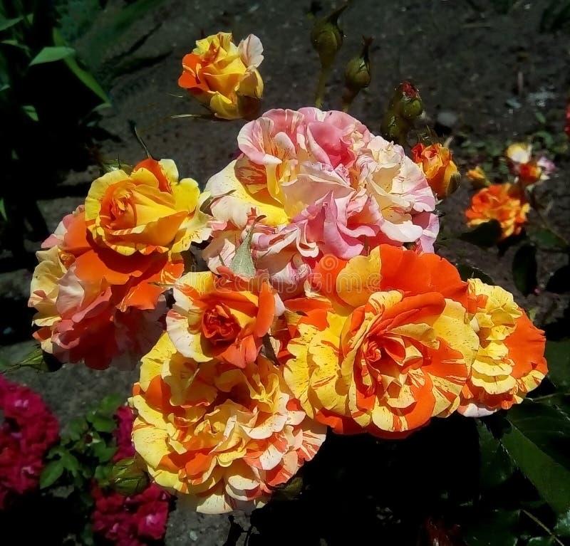 Nahaufnahme mit veränderten Rosen, den Knospen und den grünen Blättern auf einem dunklen Hintergrund lizenzfreies stockfoto