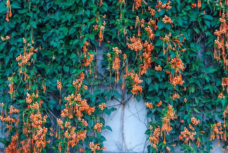 Nahaufnahme neuer Trompeten-Flammen-Blumen-Kracher-Rebhintergrund Pyrostegia Venusta/orange lizenzfreies stockbild
