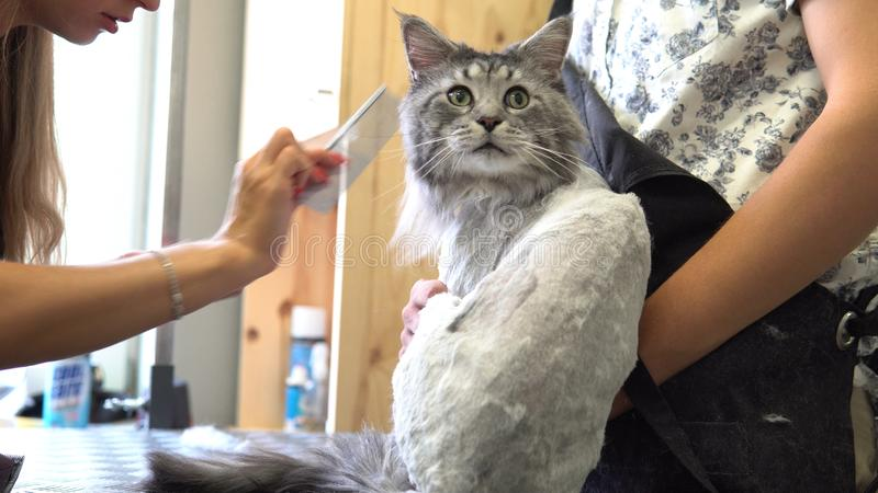 Nahaufnahme NProfessional Maine Coon Cat Grooming stockbilder