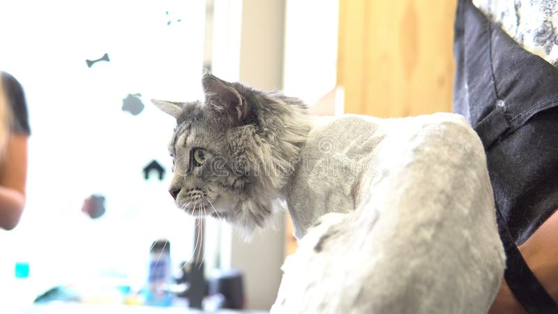 Nahaufnahme NProfessional Maine Coon Cat Grooming lizenzfreies stockbild
