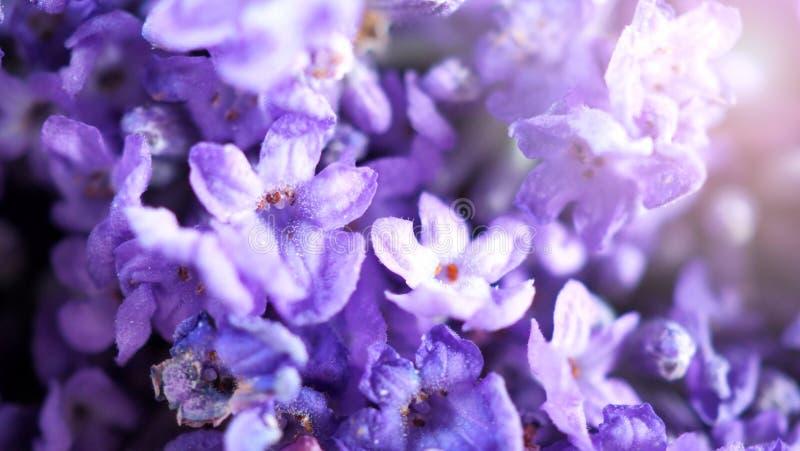 Nahaufnahme oder Makrobilder von Japan-Lavendel stockbilder