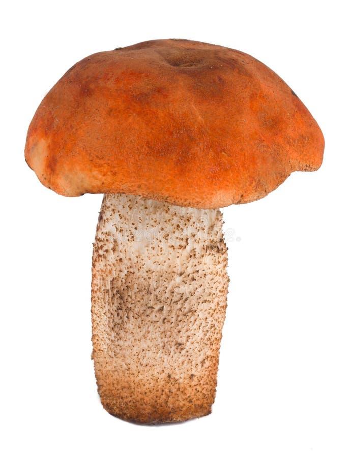Nahaufnahme Orangecup Boletus stockfotos