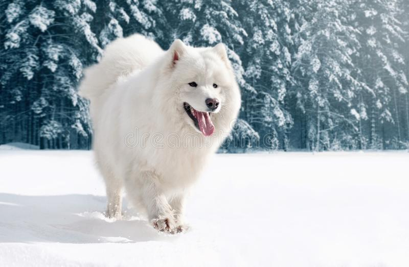 Nahaufnahme pelzartiger weißer Samoyedhund, der auf Schnee im Winter läuft lizenzfreies stockbild
