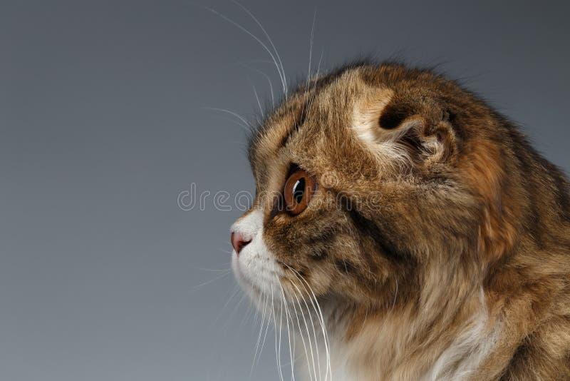 Nahaufnahme-Porträt der Scottish-Falten-Katze auf Gray Background, Profil stockfotos